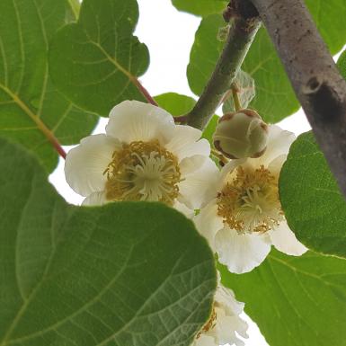 verges en fleurs et pollinisation