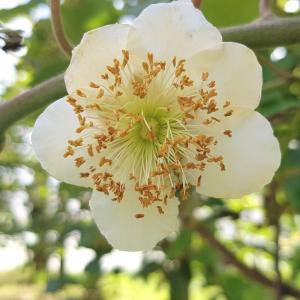 fleur mâle