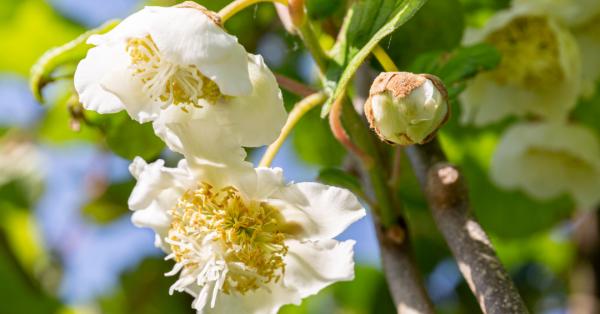 Kiwi : de la fleur au fruit